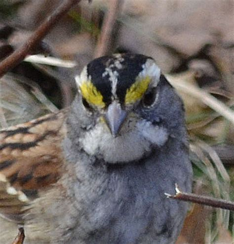 what sparrow has yellow eyebrows in southern ontario