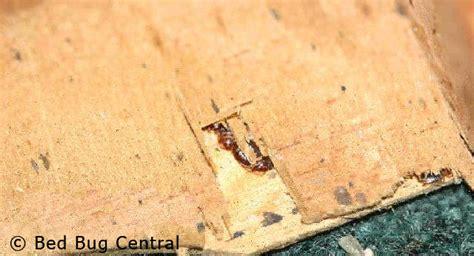 bed bugs biology behavior bedbug central