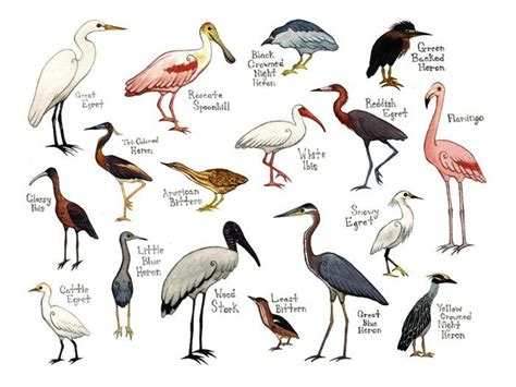 wading birds field guide art print watercolor painting