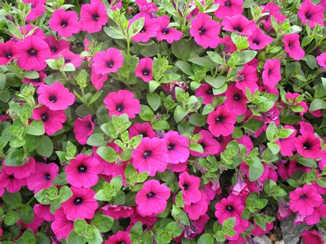 fiori da balcone primavera estate come avere un bel balcone fiorito in primavera e in estate