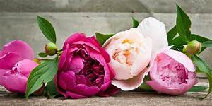 The History of Peonies - Central Square Florist