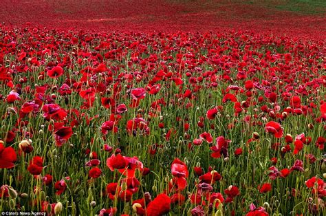 pictures of remembrance day poppies just in time for remembrance day the most beautiful photographs of poppy fields you ll ever see