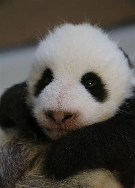 panda cubs zoo toronto giant reach milestone another zooborns animal animals enough zoos weeks reached