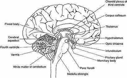 Brain Worksheet Labeled Diagram Sheep Anatomy Human
