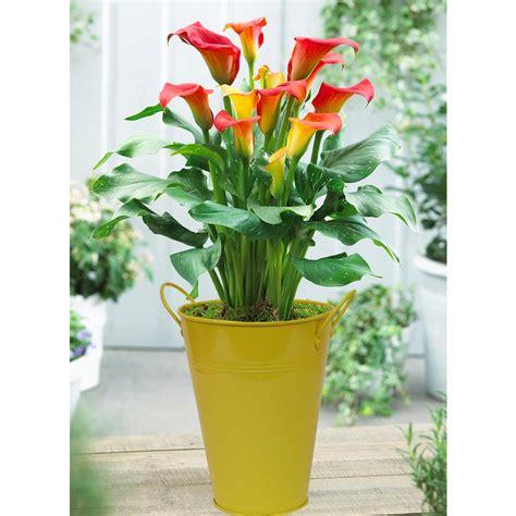 delray plants 8 3 4 in fern in pot 10macho the