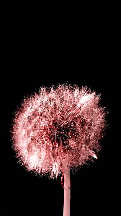Dandelion Pink Mobile Background Iphone Phone Wallpapers
