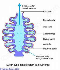 Phylum Porifera  Canal System In Sponges  Types Of Canal