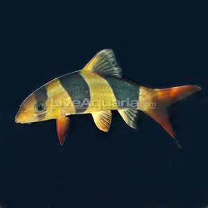 Freshwater Clown Loach Aquarium Fish