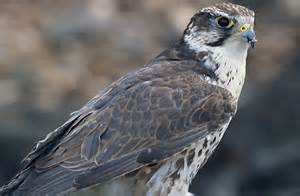 Types of Falcons Birds Species