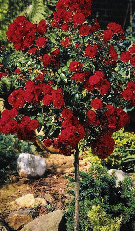 knockout rose tree  tree center