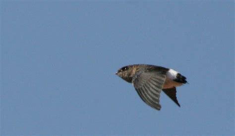 b 246 hm s spinetail birdforum opus