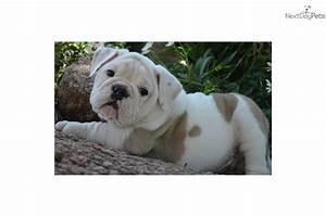 VIDEO: Meet Winston a Cute English Bulldog Puppy for Sale ...
