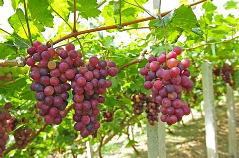 Health Benefits Of Red Grapes And How To Pick The Sweetest