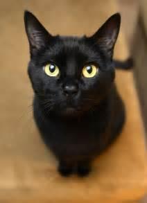 bombay cat 500px photo quot bombay quot by josh norem cats all black