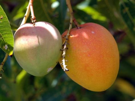 Indian Mango Volumes Fall