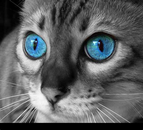 cat  blue eyes  berne  deviantart