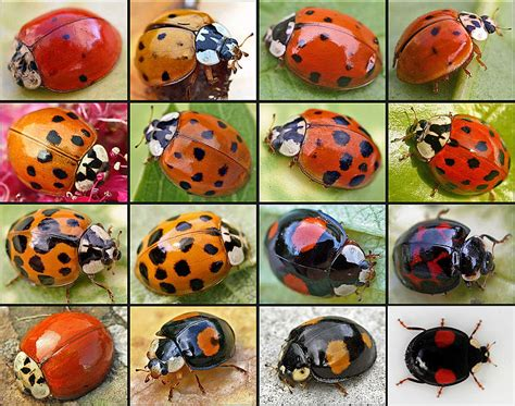 A Ladybug's Colors Are Telltale Signs of Its Toxicity   The Silver Ink