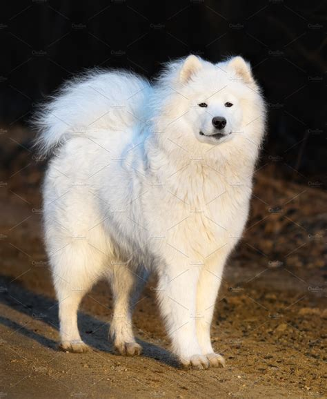 Samoyed Dog Puppy ~ Animal Photos ~ Creative Market