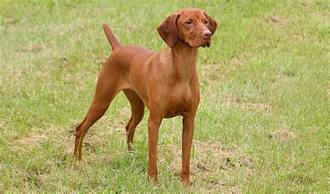 Do Vizslas Shed A Lot by 10 Of The Best Breeds For Families Nuzzle Your Gps