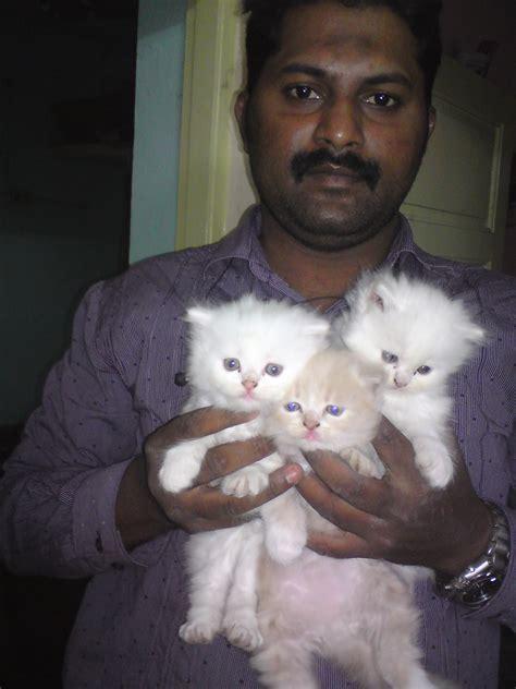 smoky grey cream colour persian kittens  sales  sale