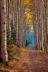 Colorado Aspen Trees Landscape