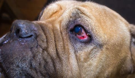 symptoms of going blind signs my is going blind learn more about your pet
