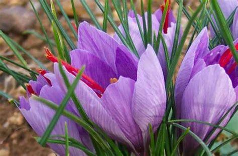 fiore di zafferano significato dello zafferano nel linguaggio dei fiori