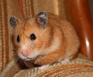 Hrcn 5271 Grey Original syrian hamster fur types hamster network