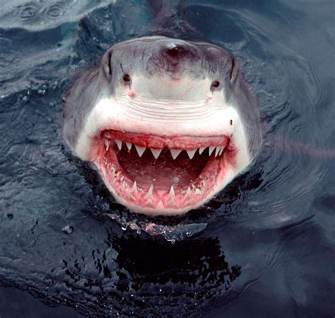 The Boat Of No Smiles by A Great Smile From A Greate White Shark Wordlesstech