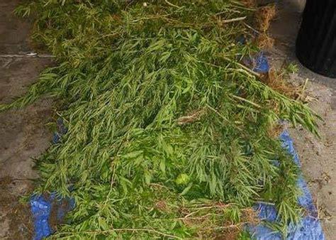 chambre agriculture cote d or salazie 264 pieds de zamal saisis