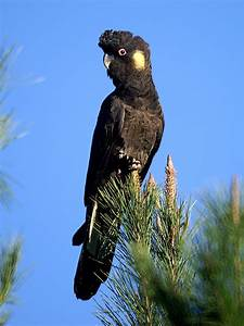 Yellow-tailed black cockatoo - Wikipedia