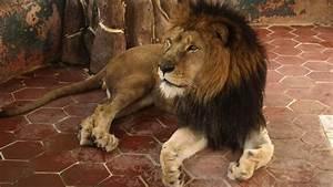 Dubai pet lion escapes, found roaming the streets - Al ...