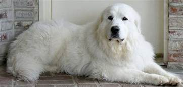 great pyrenees rescue society home