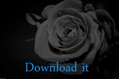 black  white rose wallpaper wallpapertag