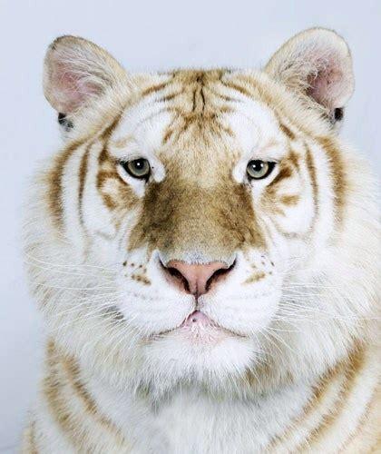 Best Tiger Eye Images Pinterest Big Cats Wild