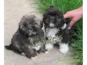lhasa apso puppies  sale  chennai   price