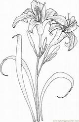 Lily Coloring Pages Flowers Coloringpages101 sketch template