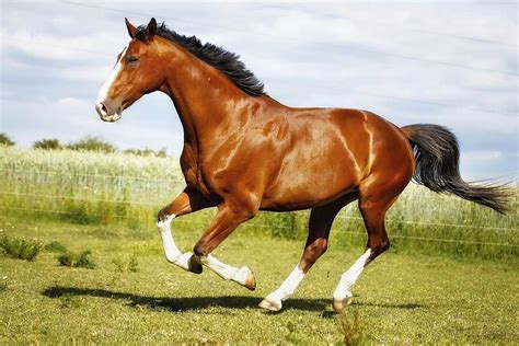 horse quarter running purebred horses racing american balancing protein diet act equine health information breeds skin supporting within royalty arabian