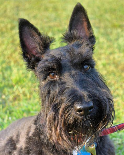 scottish terrier wikipedia