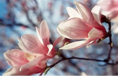 Magnolia Wallpapers Tree Flowers Desktop Flower Computer
