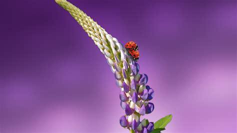 wallpaper ladybird   wallpaper  flowers summer