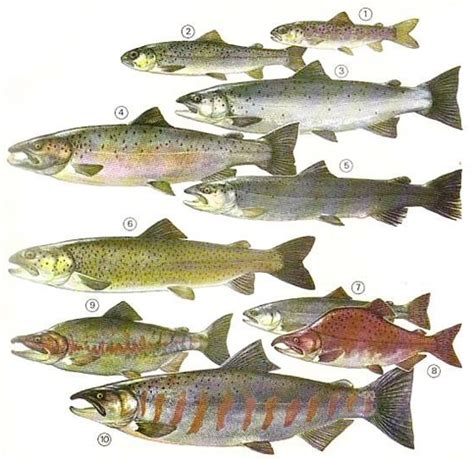 types of salmon how to identify salmon and trout identification