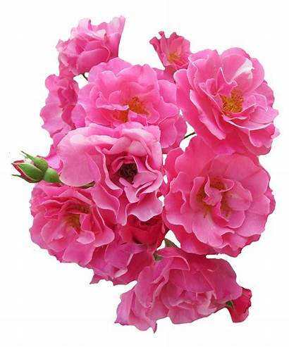Flower Pink Rose Bunch Flowers Roses Pngpix