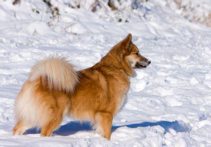icelandic sheepdogfullashx
