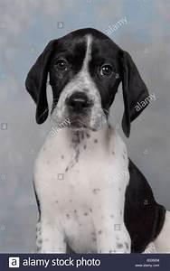 Pedigree black and white English pointer puppy Stock Photo ...