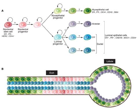 Hypothetical model of human mammary epithelial stem cell ...