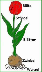 Aufbau Einer Blume : die tulpe abbildung der pflanzenteile medienwerkstatt wissen 2006 2017 medienwerkstatt ~ Whattoseeinmadrid.com Haus und Dekorationen