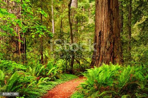 A Trail Through The Redwood Forest In Jedediah Smith