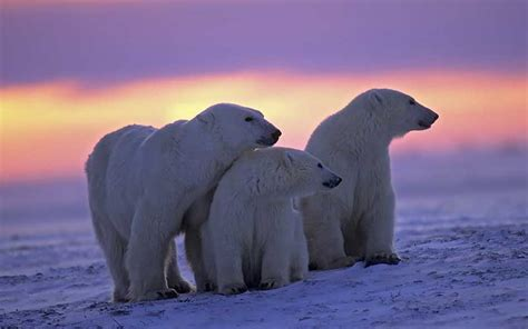 polar ursus maritimus informaci 243 n y caracter 237 sticas