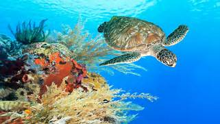 Turtle Swimming Underwater Among The Coral Reef   Wallpapers13 com  Coral Reef Wallpaper 1920x1080